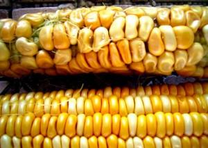 GMO kukorica