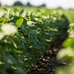 Rájöttek, hogyan növelhető a szója terméshozama műtrágya nélkül